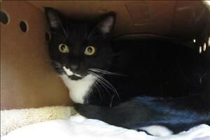 "Adult Male Cat - Domestic Short Hair: ""Cornelius"""