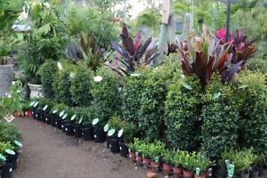 LILLYPILLYS - SYZYGIUM - NATIVES FOR SCREENING AND HEDGING