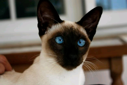 Pure 8 Generation One Breed Royal Sacred Siamese The best Breeder