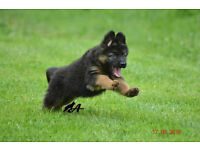 Adorable German Shepherd Puppy for Sale