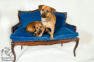 """Adult Male Dog - Jack Russell Terrier-Beagle: """"Buddy and Holly"""""""