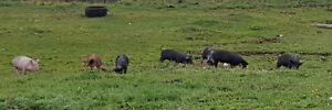 Weaner pigs for sale Strathcona County Edmonton Area image 2