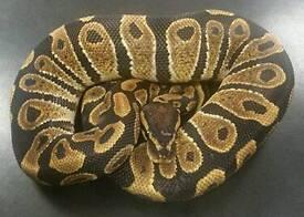 Royal/ball python male