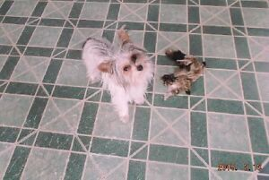 Adorable Parti Yorkie Girl AKC registered