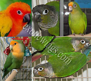 Handfed Baby Birds for sale at Exotic Wings and Pet Things