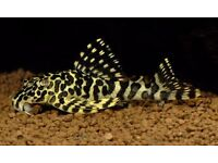 L134 Frog leopard pleco 7-8cm Live Tropical Fish Gorgeous!!