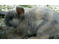 Blue Mini lop baby male rabbit with indoor cage if needed