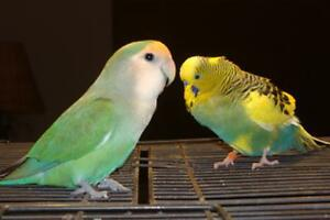 WANTED FREE Budgie or LoveBird