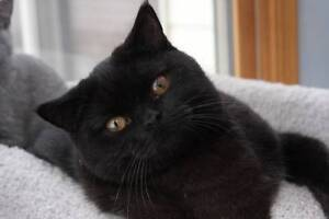 2 British Shorthair Black X  female kitties 7 Months- rescue Tingalpa Brisbane South East Preview
