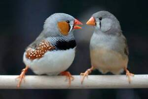 Zebra Finch - Excellent birds to have as a pet - From $ 5.00 Lynbrook Casey Area Preview