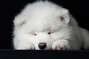 WANTED: Samoyed Puppy.