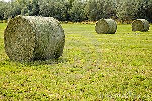 Round hay bales, Sylvan Lake