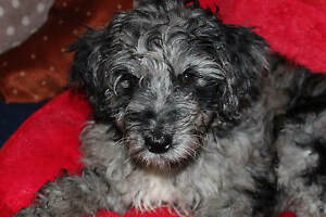 Mini/Midi Aussiedoodle Puppies, F1b, Non Shedding and Hypo....