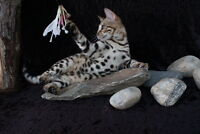 Two beautiful Bengal kittens for sale,