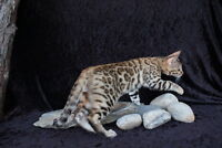 Two beautiful Male Bengal kittens for sale,