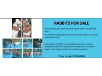 Baby Rabbits FOR SALE (Parents: Dwarf Rabbit and Mini Lop)