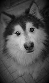 "Adult Male Dog - Alaskan Malamute-Husky: ""Dakota"""