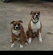 Free to good home. Boxer X. male and female Medowie Port Stephens Area Preview