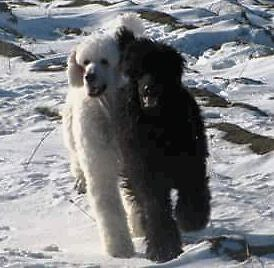 Play date available with Standard Poodle boy.