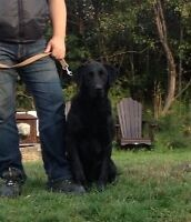 Available 3 yr old Black Lab