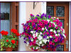 12 baby plants petunia mixed colour Trailing for hanging basket  they are very Trailing 150cm Ashby-de-la-Zouch