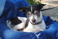 Adult Male  - Jack Russell Terrier-Chihuahua