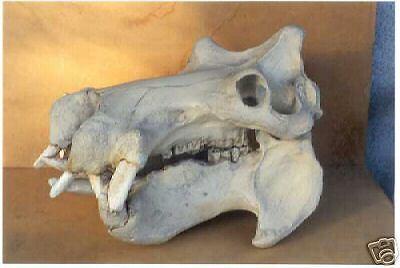 Hippopotamus Skull REPLICA