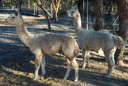 3 Suri Alpaca males to sell together