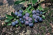 Blueberry Seeds