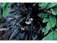 Grasses - Ophiopogon planiscapus 'Nigrescens' black mondo