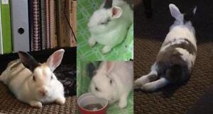 "Adult Female Rabbit - Bunny Rabbit: ""Linda"" Cambridge Kitchener Area image 1"
