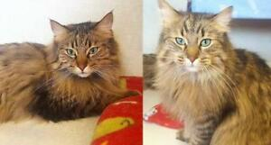 "Adult Male Cat - Maine Coon: ""Elvis and Tony"""