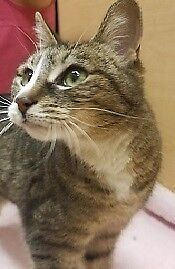 "Adult Female Cat - Domestic Short Hair: ""Faun"""