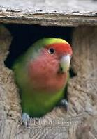 Female love bird with a very big and huge cage, toys and mirror.