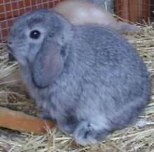 Mini Lop & Netherland Dwarf baby bunnies for sale Mornington Mornington Peninsula Preview
