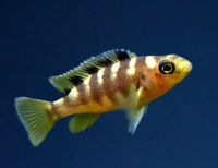 Baby BumbleBee African Cichlids