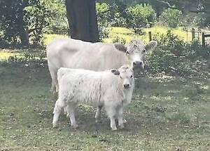 Gir Cow For Sale Olx