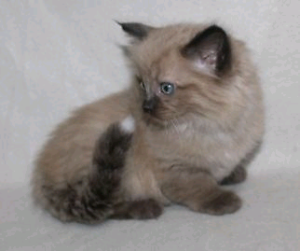 Purebred ragdoll kittens registered Lithgow Lithgow Area Preview