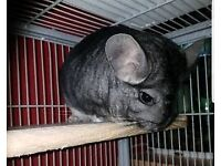 Chincillas x2 and large cage