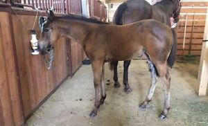 Weanling ApHC filly - Horse for sale