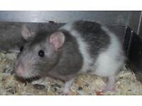Fancy blue rats