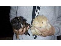 tWO LOVELY LITTLE GUINEA PIGS