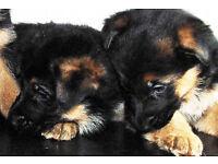 German Shepherd Pups. Need to go ASAP