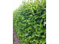 Griselinia evergreen hedging plants