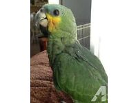 baby amazon parrots 7 months old males and females with hatching certificates