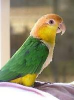 White Bellied Caique Male Breeder