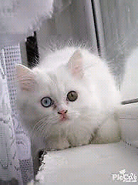 Wanting Odd-Eyed Cat
