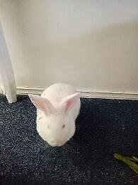 Netherlands Dwarf albino Rabbit