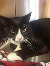 "Adult Male Cat - Domestic Short Hair-black and white: ""Lemmy"""
