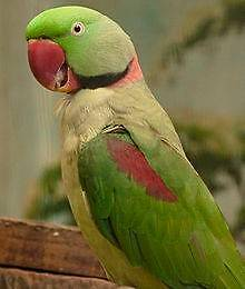 Lost Alexandrine parrot Coal Point Lake Macquarie Area Preview